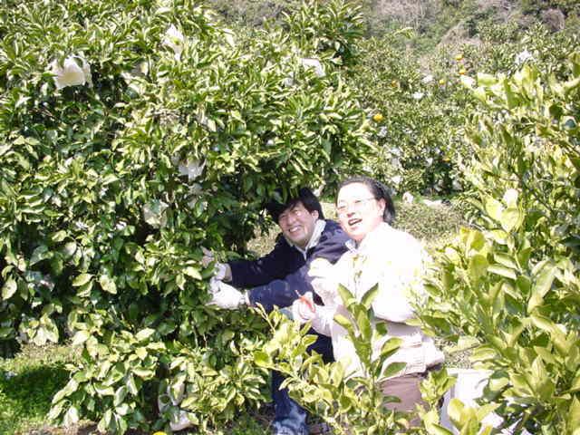 清美オレンジの収穫です。