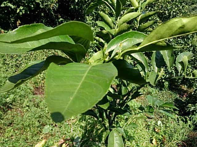 清見オレンジの木の苗