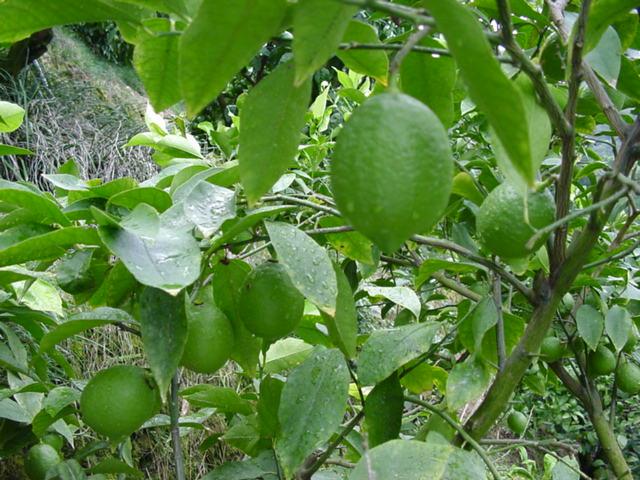 国産グリーンレモン